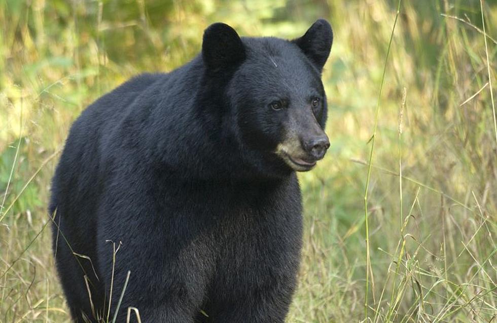 Michigan Black Bears