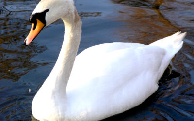 Is that a Mute Swan or a Trumpeter Swan?