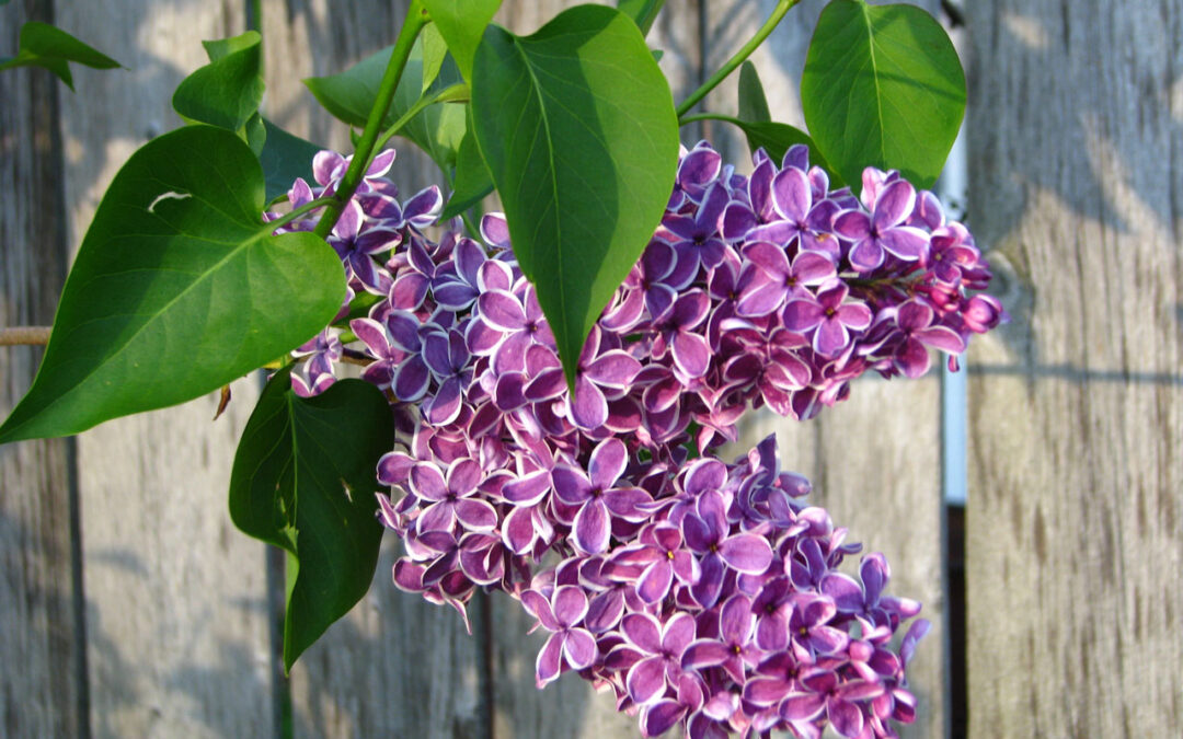 Lilac Blooms- A sign of Michigan Spring